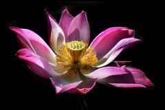 在与露滴的黑背景中隔绝的莲花绽放的秀丽在它的瓣和自然光 免版税库存照片