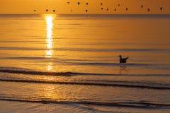 在与f的金黄日落期间漂浮在海的孤独的海鸥挥动 库存照片
