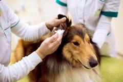 在专业宠物诊所的女性兽医检查狗` s耳朵 免版税库存图片