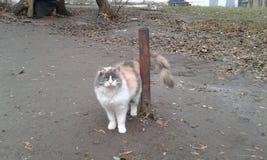 在专栏附近的三色猫家 免版税库存照片