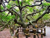 在世界的最大的腰果树-储蓄图象 免版税图库摄影
