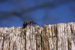 在世界顶部的蚂蚁 库存图片