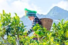 在世纪年纪茶树的泰国种族妇女茶捡取器 免版税图库摄影