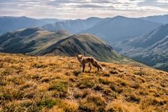 在丘比特峰顶山顶的一只狐狸  Loveland通行证,科罗拉多落矶山 免版税库存照片