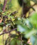 在丛林的古巴捕虫鸣鸟 库存照片