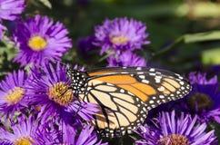 在丛的黑脉金斑蝶紫色翠菊开花 免版税库存照片