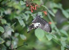在丛的Swallowtail蝴蝶花在庭院里 库存照片