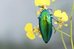 在东南亚修宝石甲虫或金属木头乏味甲虫 库存照片