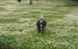 在东部公园船身东部约克夏英国的公山羊 免版税库存图片