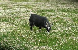在东部公园船身东部约克夏英国的公山羊 图库摄影