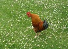 在东部公园船身东部约克夏英国的公鸡 库存图片