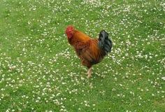 在东部公园船身东部约克夏英国的公鸡 免版税图库摄影