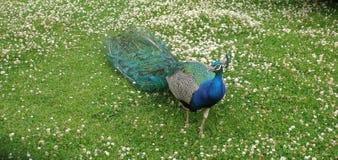在东部公园船身东部约克夏英国的孔雀 免版税库存照片