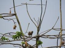 在丝光木棉树的木桶匠的鹰 库存照片