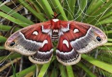 在丝兰灌木的大红色飞蛾 免版税库存图片