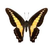 在丝毫隔绝的黄色蝴蝶Hypolimnas monteironis 库存图片