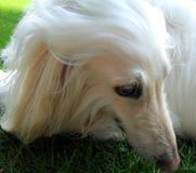 在丝质头发的似犬模型的自然的眼线膏 免版税库存照片