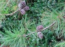在两个分支的五个杉木锥体 库存图片
