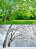 在两个季节的两棵悬铃树-夏天和冬天 库存图片