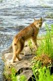 在两个岩石的成人天猫座姿势 免版税库存图片