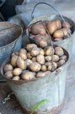 在两个篮子的土豆在收获以后 新鲜的未煮过的土豆 免版税库存照片