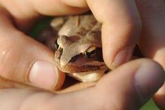 在两只手中举行的青蛙 免版税图库摄影