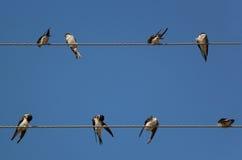在两团电线的八只燕子 免版税库存照片
