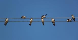 在两团电线的燕子 免版税库存照片