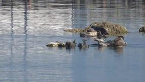 在两封印之间的战斗:斑海豹在小岩石的一个小小组聚集 股票视频