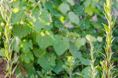 在两朵平行的花的蜘蛛网,关闭 库存图片