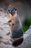 在两条腿的土拨鼠(巨型石松鼠)立场 免版税图库摄影