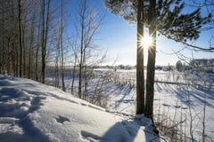 在两棵杉木之间的明亮的太阳 库存图片