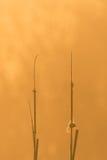 在两棵芦苇植物之间的大蜘蛛网早晨光的 免版税库存照片