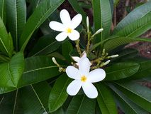 在两片白花绿色叶子之间 库存图片