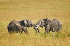 在两头男性大象之间的战斗 免版税图库摄影