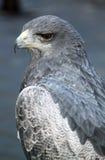 在中世纪猎鹰训练术陈列的灰色猎鹰 免版税库存照片