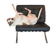 在中世纪现代巴塞罗那椅子的Pitbull狗 库存图片