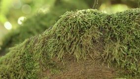 在中国柑桔树的分支一个美丽的绿色青苔,反对温暖的太阳的光芒背景  影视素材
