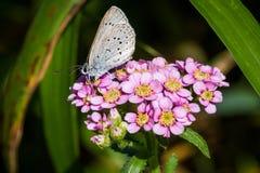 在中国欧蓍草的春天天蓝色的Celastrina agriolus蝴蝶 免版税库存照片