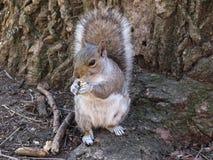 在中央公园,纽约的灰鼠 免版税库存图片
