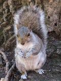 在中央公园,纽约的灰鼠 图库摄影