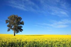 在中央西部NSW的油菜领域 图库摄影
