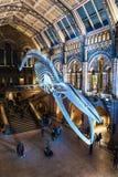 在中央霍尔,自然历史博物馆的巨大的恐龙骨 库存照片