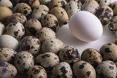 在中心空间和小组的单独鸡蛋多个斑点鹌鹑 免版税库存图片