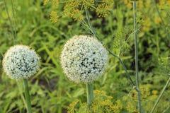 在中的大蒜开花绿色领域 免版税库存照片