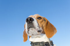 在中立天空背景的小猎犬头 库存照片