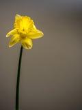 在中立背景的唯一黄水仙 图库摄影