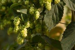 在中继字段的啤酒花球果树 库存图片