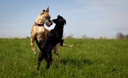 在中间戏剧的两条狗 免版税库存图片
