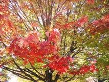 在中间秋天的枫叶颜色 库存图片